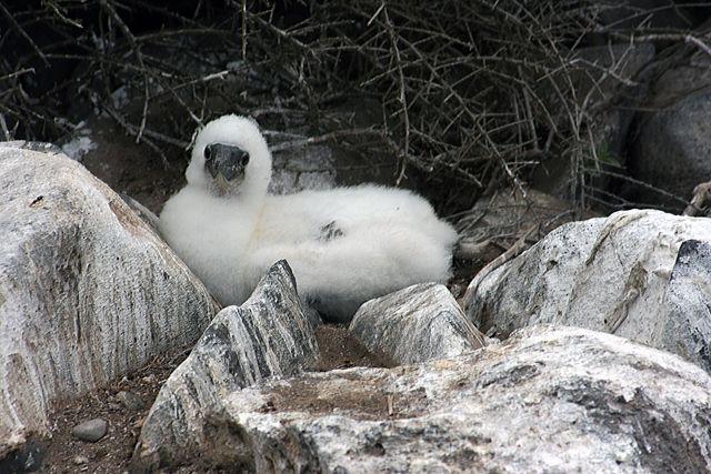 Zdjęcia: Galapagos, całkiem spory mały ptak :), EKWADOR