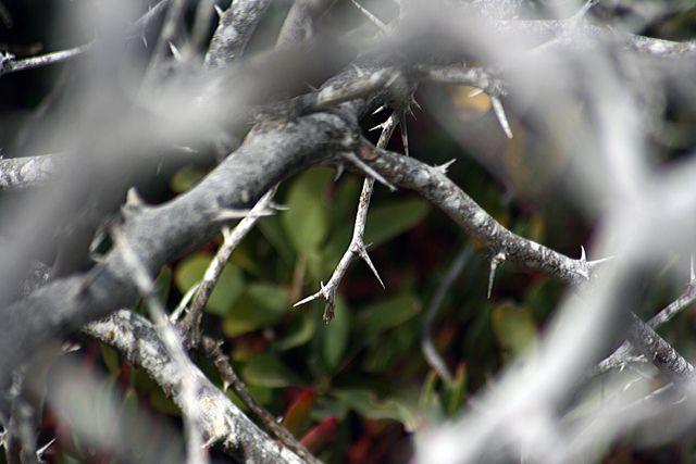 Zdjęcia: Galapagos, cierń, EKWADOR