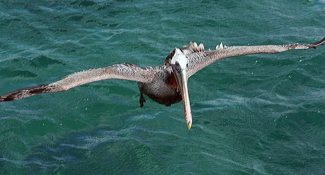 Zdjęcia: Galapagos, Pelikan, EKWADOR