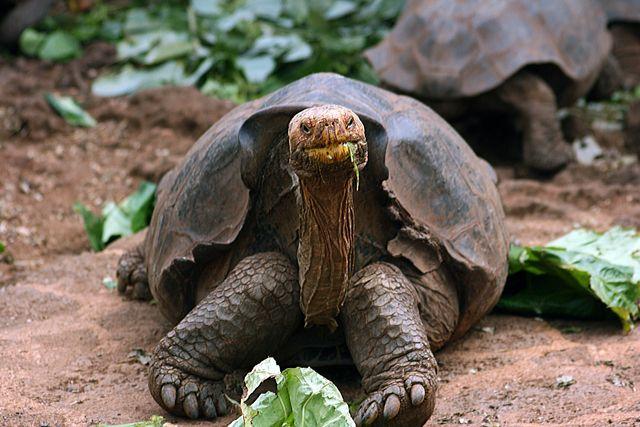 Zdjęcia: Galapagos, żółw, EKWADOR