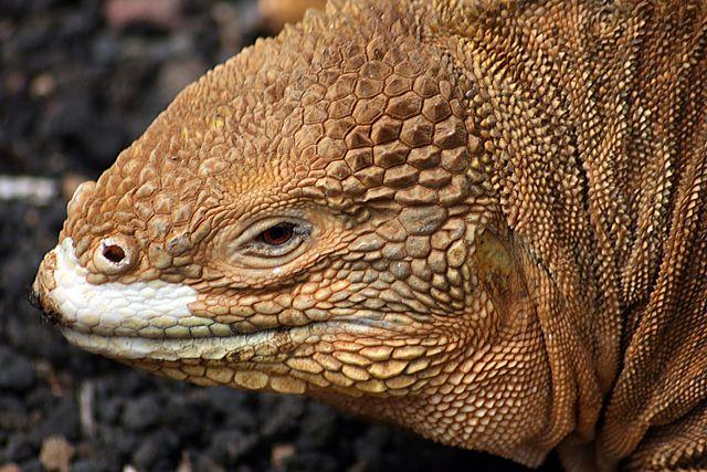 Zdjęcia: Galapagos, jaszczur, EKWADOR