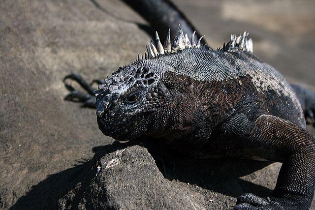 Zdj�cia: Galapagos, iguana, EKWADOR