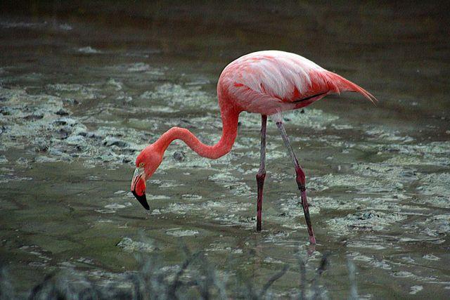 Zdjęcia: Galapagos, flaming, EKWADOR