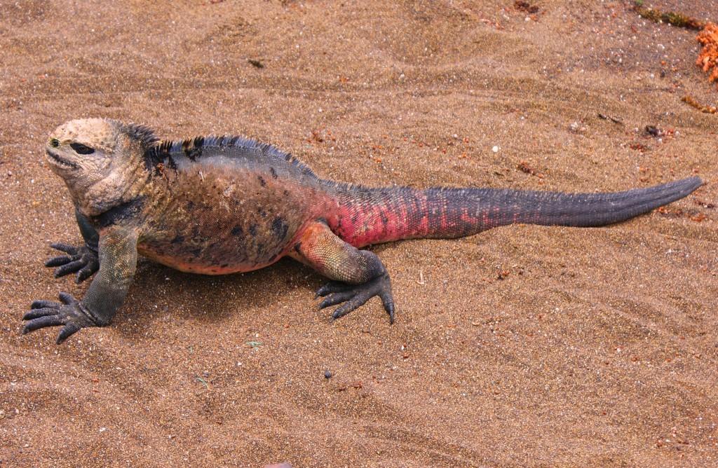 Zdjęcia: Wyspy Galapagos, Wyspy Galapagos, jestem piękny, EKWADOR