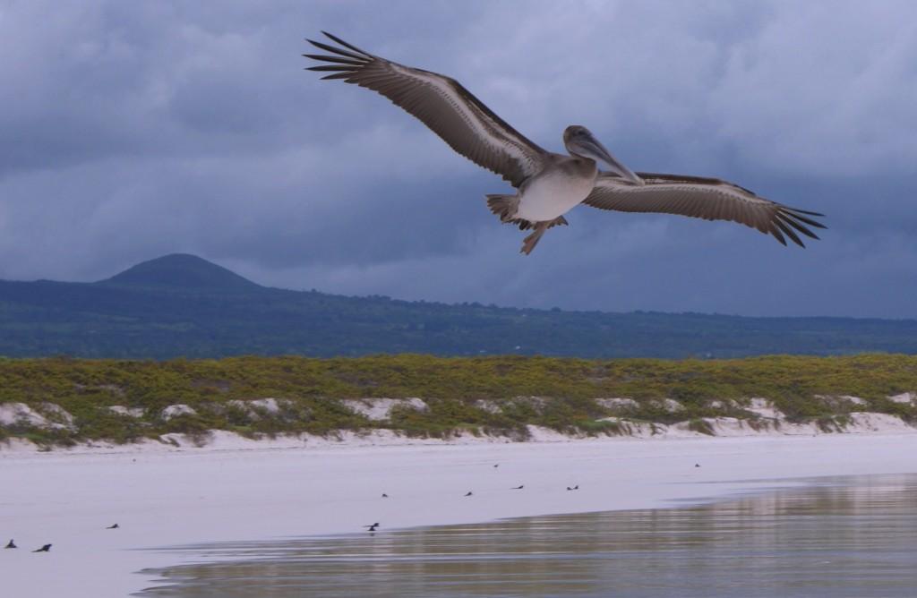 Zdjęcia: Wyspy Galapagos, Wyspy Galapagos, pelikan, EKWADOR