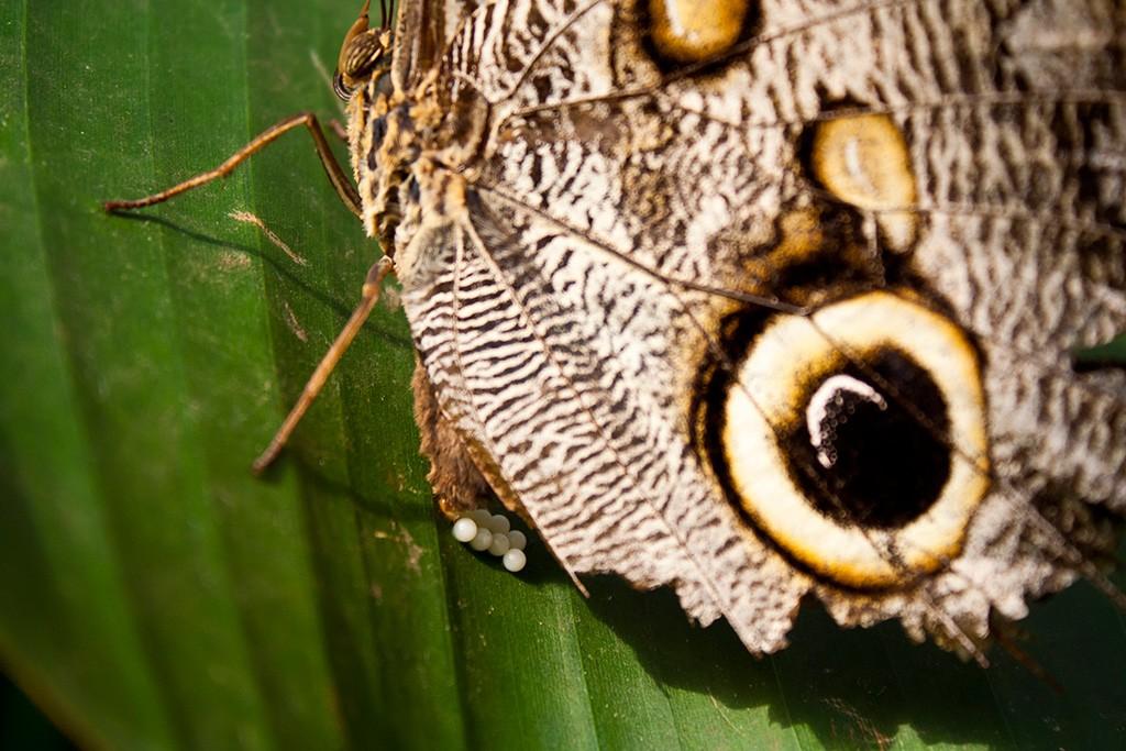 Zdjęcia: Mindo, Mindo, Konkurs. Motyl składający jaja, EKWADOR