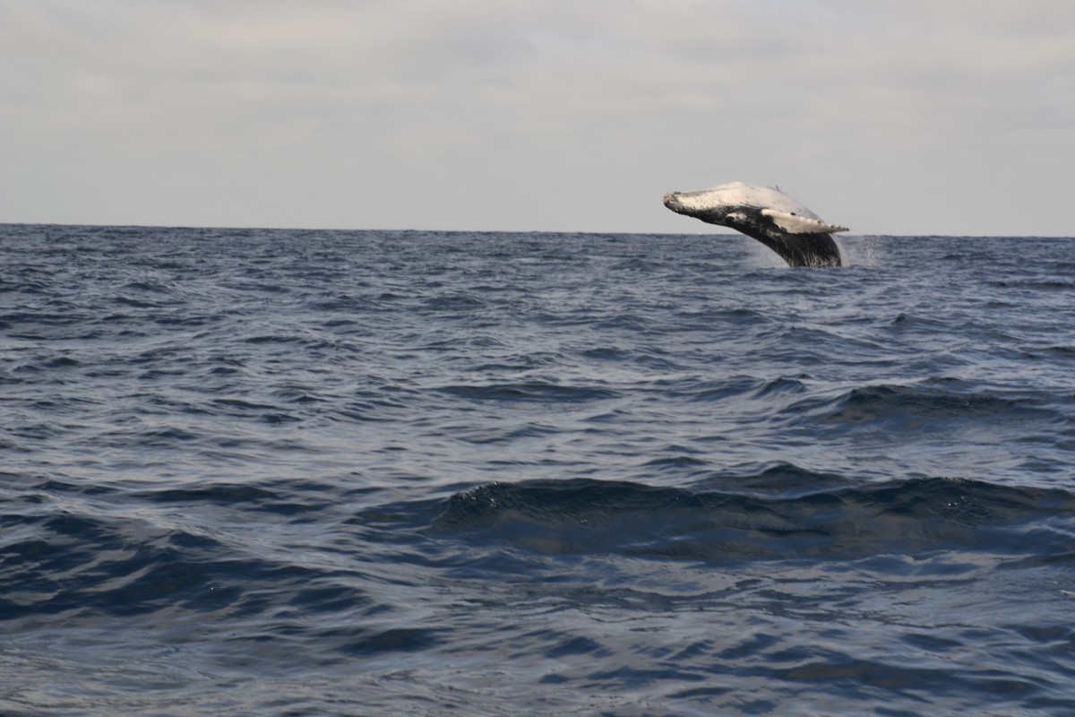 Zdjęcia: Puerto Lopez, Puerto Lopez, Zaloty wielorybów, EKWADOR