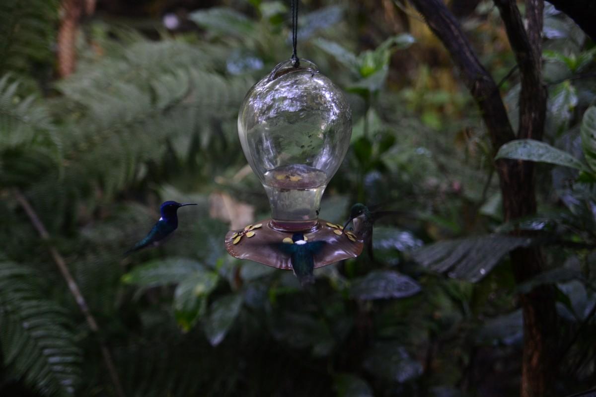 Zdjęcia: Mindo, Mindo, Kolibry przy paśniku 2, EKWADOR