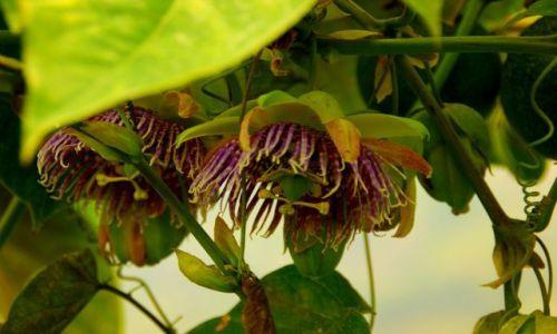 Zdjęcie EKWADOR / Banos / Banos / Kwiat  kakaowca