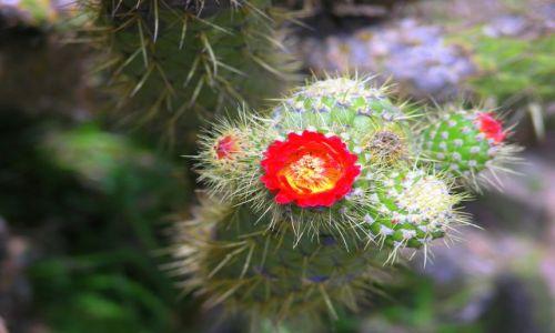 Zdjecie EKWADOR / Latacunga / Latacunga / Kwiat