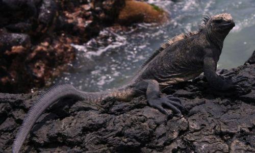 Zdjecie EKWADOR / Wyspy Galapagos / Wyspy Galapagos / iguana