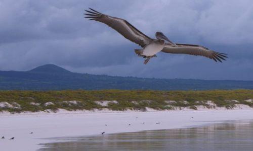 Zdjecie EKWADOR / Wyspy Galapagos / Wyspy Galapagos / pelikan