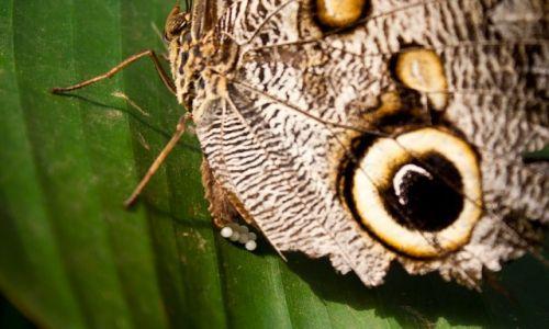 Zdjecie EKWADOR / Mindo / Mindo / Konkurs. Motyl składający jaja