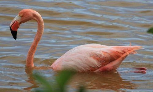 Zdjęcie EKWADOR / Galapagos / Galapagos / Flaming