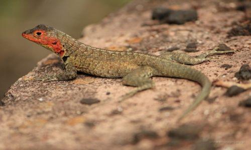 Zdjęcie EKWADOR / Galapagos / Galapagos / Jaszczurki z Galapagos