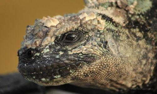Zdjecie EKWADOR / Galapagos / Galapagos / Iguana