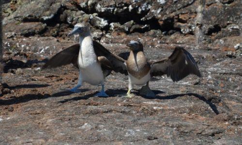 Zdjecie EKWADOR / Wyspy Galapagos / Isabela / tańczące głuptaki
