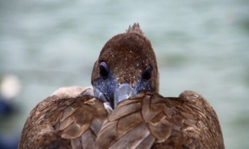 EKWADOR / Wyspy Galapagos / Galapagos / Pelikan