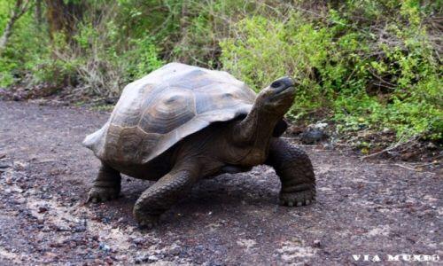 Zdjecie EKWADOR / Wyspy Galapagos / Galapagos / Żółw