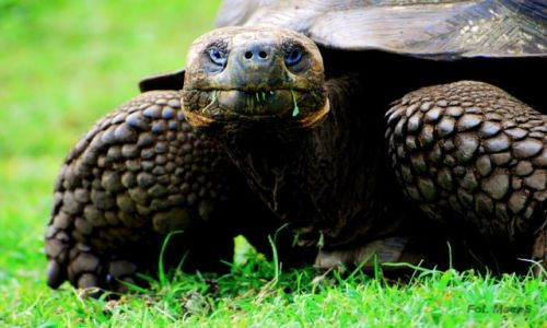 Zdjęcie EKWADOR / Galapagos / Santa Cruz / zółw słoniowy