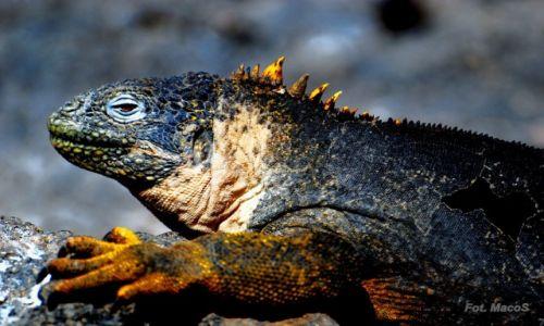 Zdjęcie EKWADOR / Galapagos / Santa Fe / Legwan morski