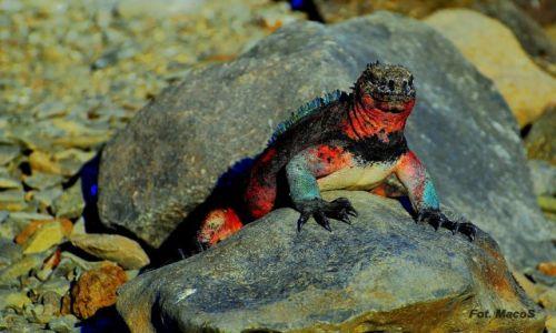 Zdjęcie EKWADOR / Galapagos / Española / Legwan morski