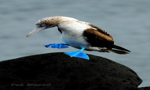 EKWADOR / Galapagos / San Crist�bal / g�uptak niebieskonogi