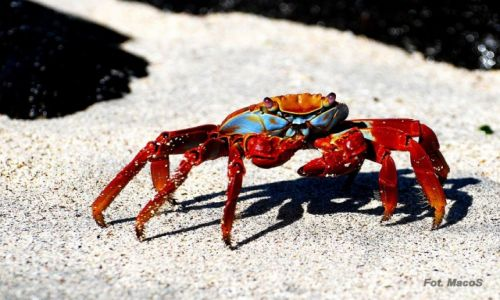 Zdjecie EKWADOR / Galapagos / Española / krab
