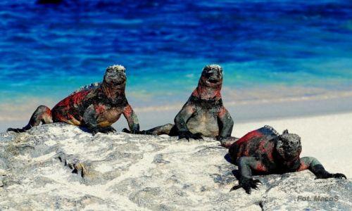 Zdjęcie EKWADOR / Galapagos / Española / Legwany