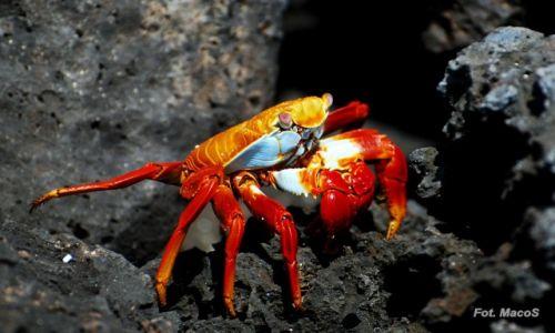 Zdjęcie EKWADOR / Galapagos / San Cristóbal / krab