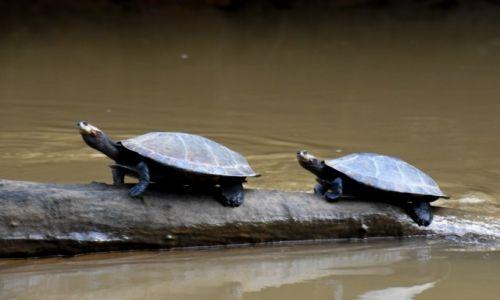 Zdjęcie EKWADOR / Lasy deszczowe / w pobliżu rzeki Shiripuno / Żółwie rzeczne