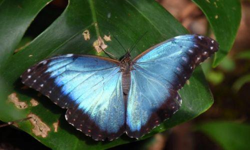 Zdjecie EKWADOR / Amazonia / lasy deszczowe / Motyl