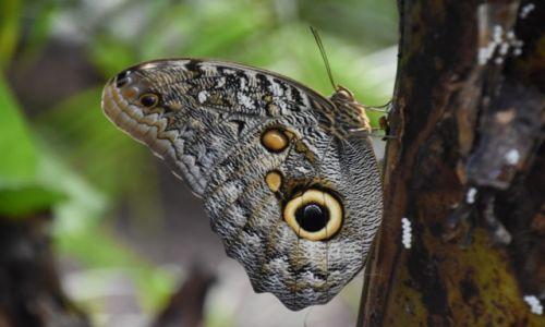 EKWADOR / Amazonia / lasy deszczowe / Motyl sowie oczy