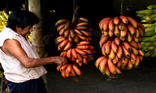 Zdjęcie EKWADOR / zachodnie niziny / okolica Quevedo / Moje ulubione czerwone banany
