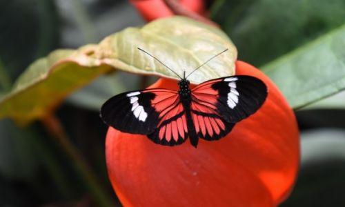 EKWADOR / niziny zachodnie / na zachód od Quito / motyl z Ekwadoru