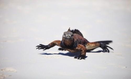 Zdjęcie EKWADOR / Galapagos / Isla Isabela / Iguana na spacerze