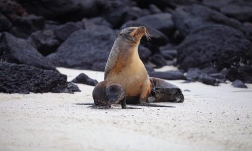 Zdjecie EKWADOR / Galapagos / Isla Isabela / I am your baby mummy!