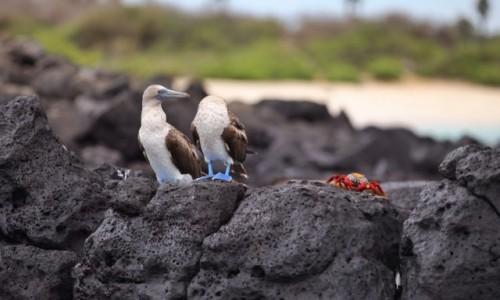 Zdjecie EKWADOR / Galapagos / Isla Isabela / Blue Boobies