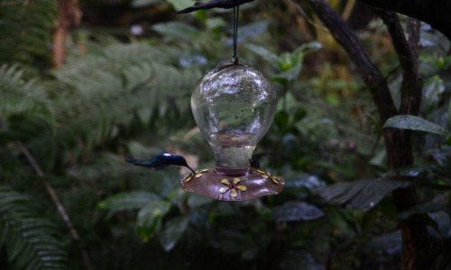 EKWADOR / Mindo / Mindo / Kolibry przy paśniku
