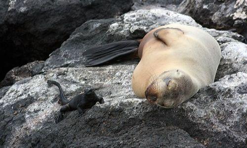Zdjecie EKWADOR / brak / Galapagos / Lwica i iguana