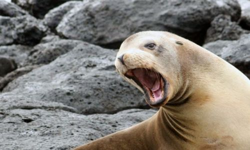 Zdjęcie EKWADOR / brak / Galapagos / lwica morska