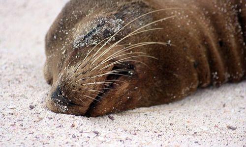 Zdjecie EKWADOR / brak / Galapagos / śpi sobie
