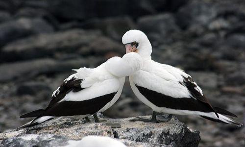 Zdjecie EKWADOR / brak / Galapagos / ptaki