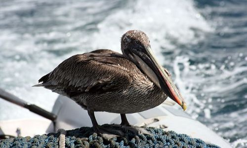 Zdjęcie EKWADOR / brak / Galapagos / Pelikan - postanowił sobie podpłynąć z nami :)