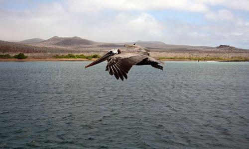 Zdjecie EKWADOR / brak / Galapagos / Pelikan