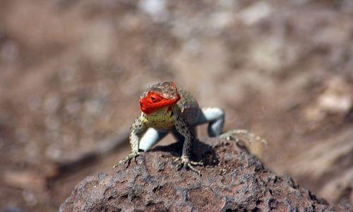 EKWADOR / brak / Galapagos / jaszczurka