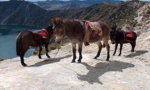 Zdjecie EKWADOR / brak / Laguna Quilotoa / Muły czekające na
