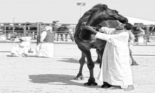 Zdjęcie ZJEDNOCZONE EMIRATY ARABSKIE / Abu Dhabi / Madinat Zayed - Al Gharbia / Czarny Dromader - Al Dhafra Festiwal I