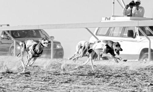 Zdjęcie ZJEDNOCZONE EMIRATY ARABSKIE / Abu Dhabi / Madinat Zayed - Al Gharbia / Gorączka wyścigów - Al Dhafra Festiwal II