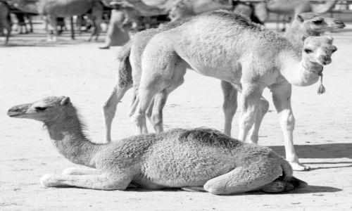 Zdjęcie ZJEDNOCZONE EMIRATY ARABSKIE / Abu Dhabi / Madinat Zayed - Al Gharbia / Trojaczki - Al Dhafra Festiwal III